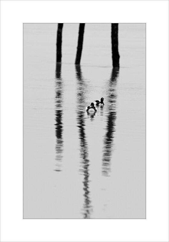 Aiguillon 241217 Pavé oiseau tadornes reflets piquets nb