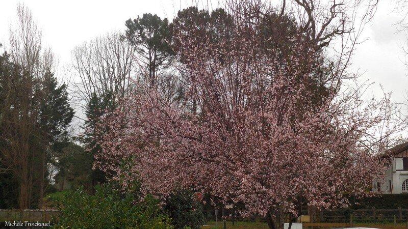 Prunus 250216