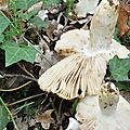 Russula foetens (5)