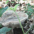 Amanita rubescens (7)