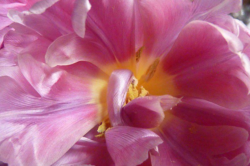 tulipes mars 2012 (1)