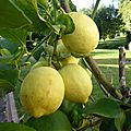 4 novembre - ouf...ils sont rentrés...les citronniers