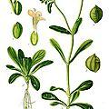 Valerianella locusta en salade