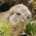 ***Marmottes 2011