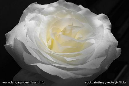 f-rose-blanche-1