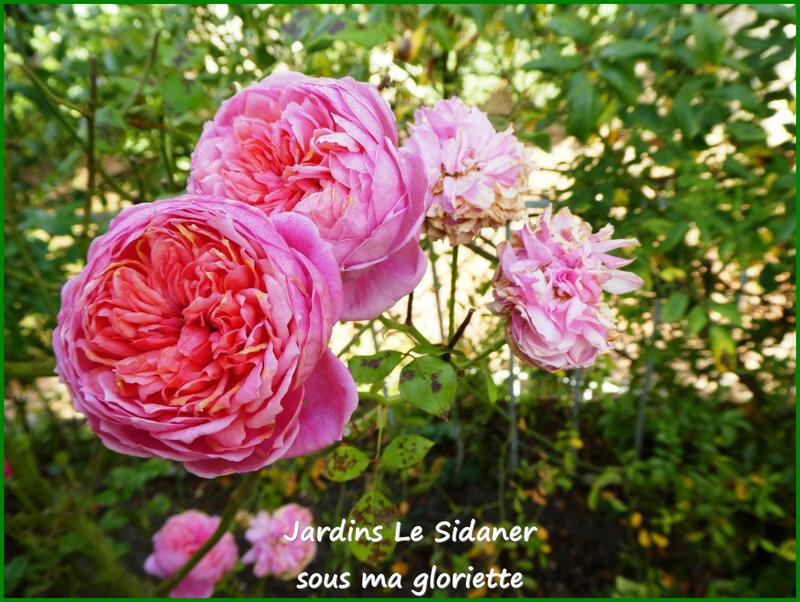 roses3