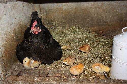 2009 03 26 La poule et les poussins