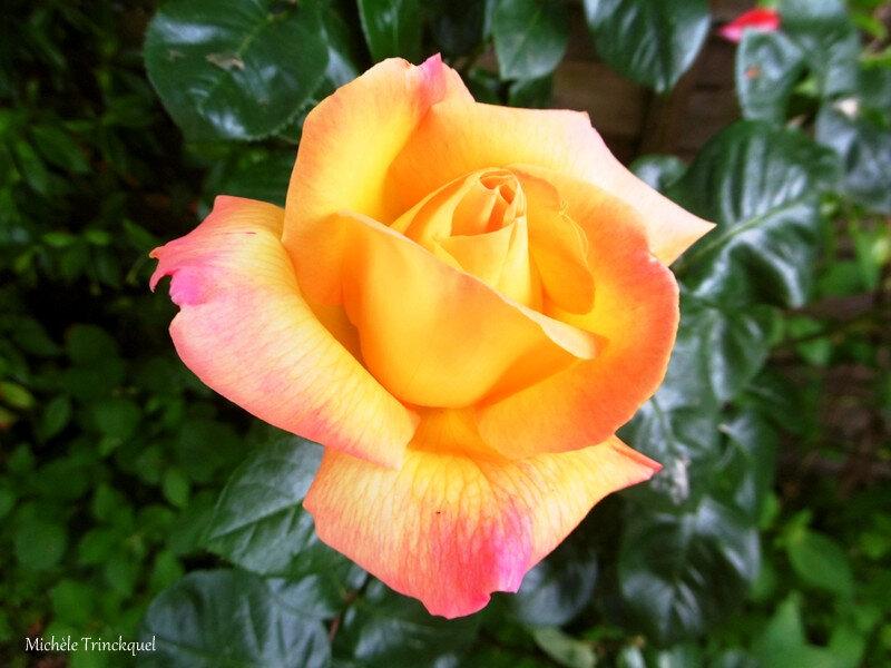 1-Mes roses et Fleurs de Léon 290419