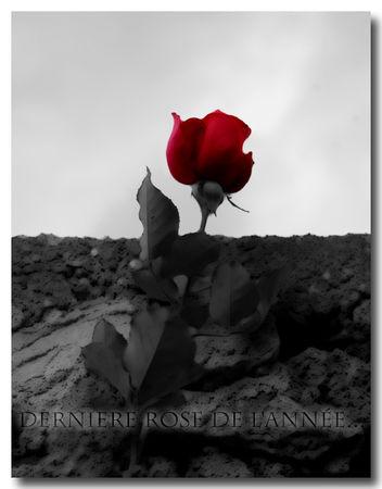 derni_re_rose