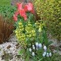 muscaris, lamier jaune, tulipes botaniques, euphorbe