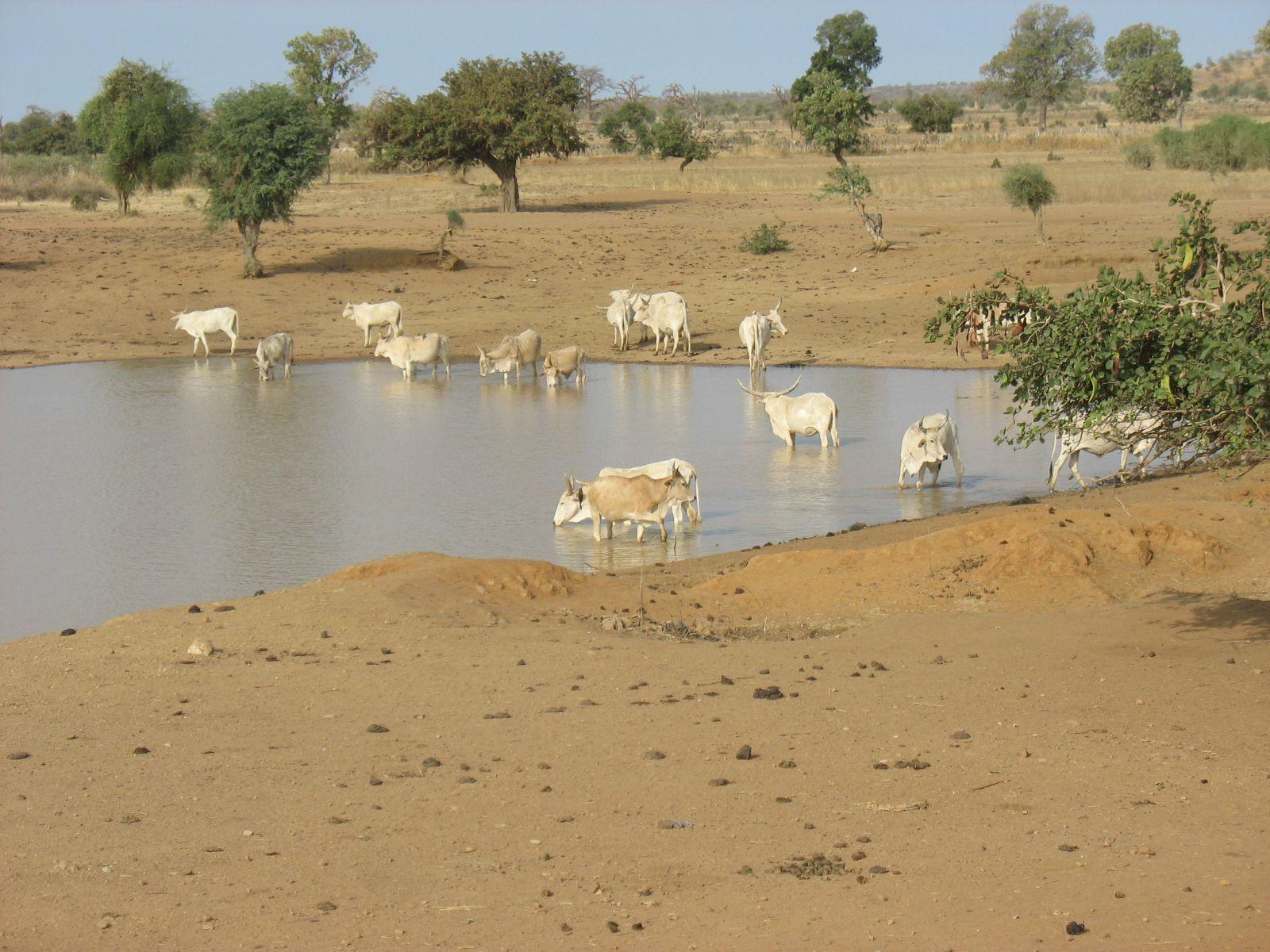 Les Vaches s'abreuvent