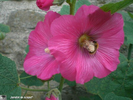 7279_Rose_tremiere