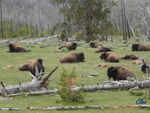 18_Jun_04___Yellowstone__bisons_3