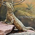 Dragon de lawson