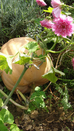 courge_atlantic_giant