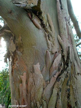 Eucalyptus_gunnii