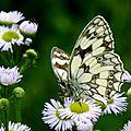 papillon : le demi-deuil