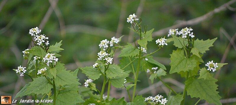 Alliaire officinale • Alliaria petiolata