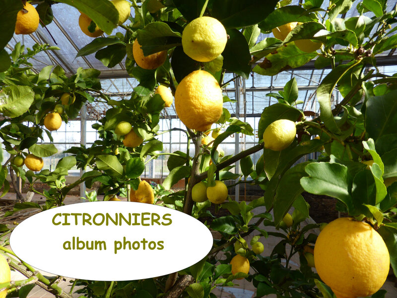 citronniers-album photos