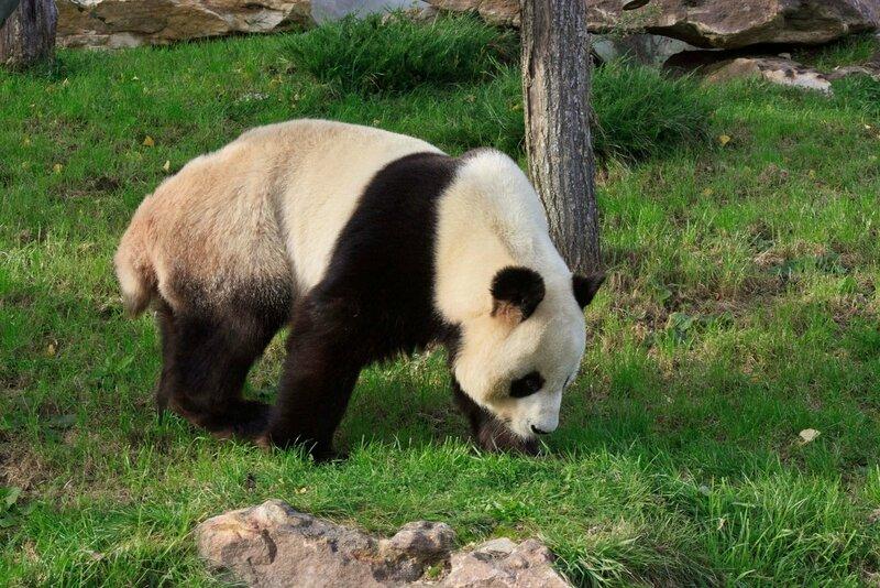 112-Panda Geant