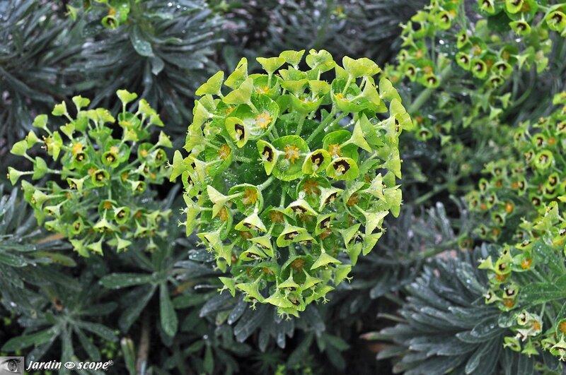 Euphorbe de Corse • Euphorbia characias