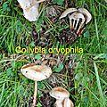 Collybia dryophila (Copier)