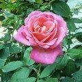 Rose oct 06