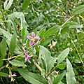 Lyciet de Barbarie (Lycium barbarum), fleurs.
