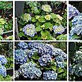 evolution HORTENSIA BENELUX bleu au fil des saisons