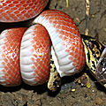 Pseudoboa coronata prédatant un jeune téju