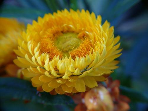 2008 10 11 Une Fleur D Immortelle Jaune Photo De A Mes Fleurs