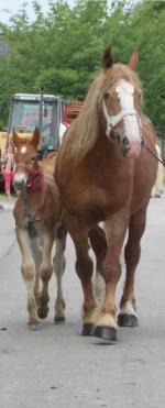 Frisson du Boncoin et sa mère, Thaïs du Bon Coin - 18 Juin 2015 - Concours d'élevage local - Arneke