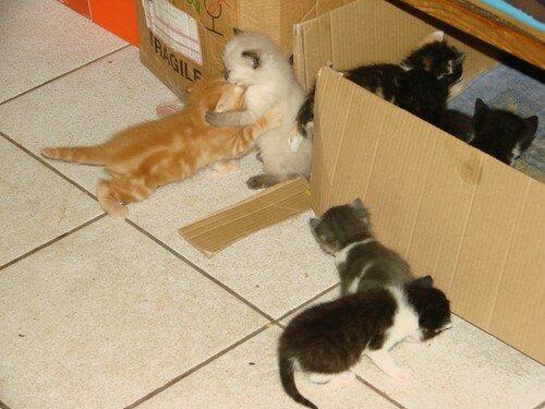 2008 04 09 Les chatons de Papillon qui s'amusent et ceux de Blanco qui regardent