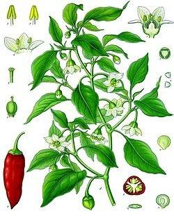 250px-Capsicum_annuum_-_Köhler–s_Medizinal-Pflanzen-027