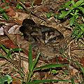 Nyctidromus albicollis - Engoulevent pauraqué (juvénile)