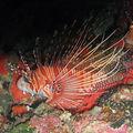 Ptérois (poisson lion)