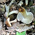 Collybia fusipes (3)
