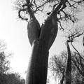 Baobab - Toliara