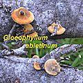 Gloeophyllum abietinum