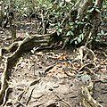 Mangrove mud