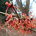 Hamamelis x intermedia 'friesia'