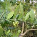 Simmondsia chinensis, le jojoba
