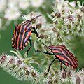 La punaise arlequin (Graphosoma italicum)