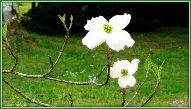 Fleurs de Tulipier 2104154