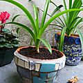 Pots agapanthes