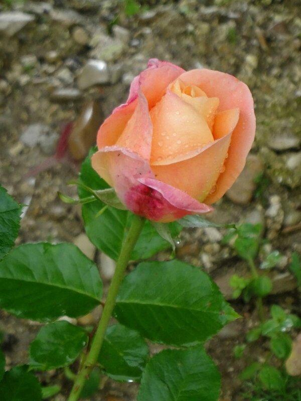 bouton du rosier isabelle autissier