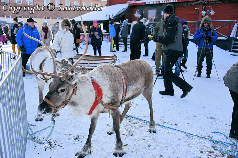 reindeer_rides_for_families_oulu_-34