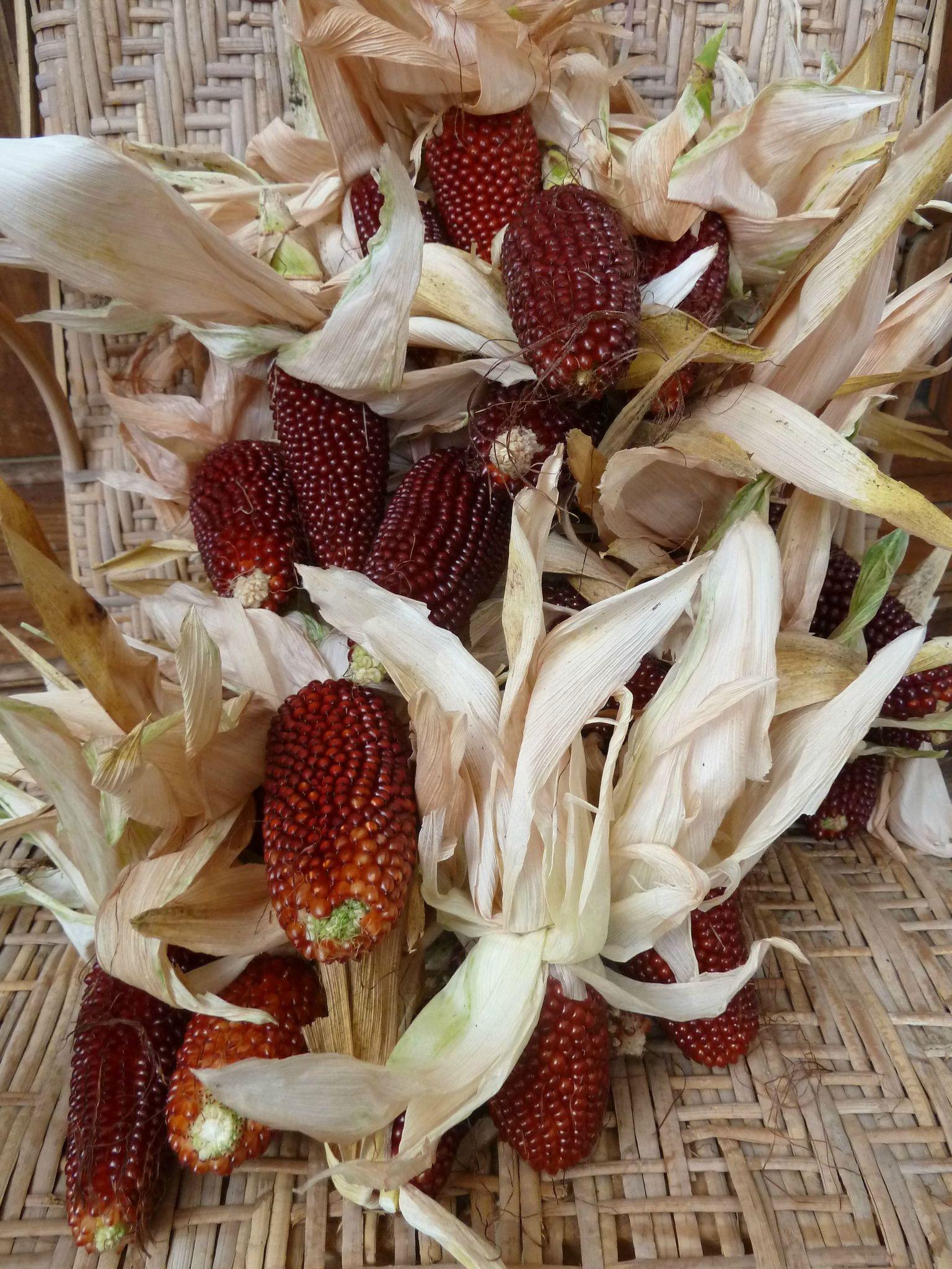 maïs fraise - www.passionpotager.canalblog.com