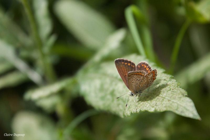 Argus bleu femelle b