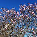 Magnolia 1602163